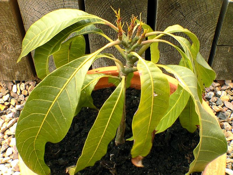 Exotische nutzpflanzen 1 mangob ume for Was hilft gegen fliegen in blumenerde