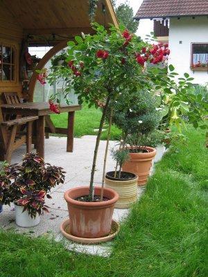 in welchen topf soll die rose seite 1 rund um die rose mein sch ner garten online. Black Bedroom Furniture Sets. Home Design Ideas