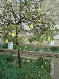 Pomelo pflanze