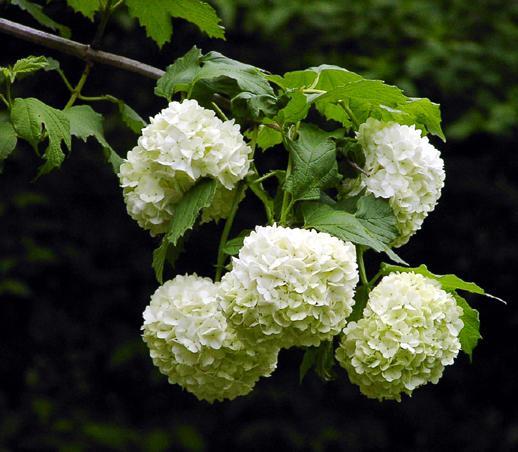 Baum Umpflanzen gefülterduft schneeball umsetzen rüben forum