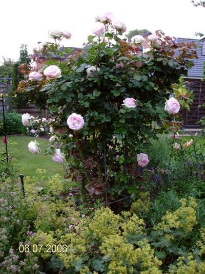 eden rose seite 1 rund um die rose mein sch ner. Black Bedroom Furniture Sets. Home Design Ideas