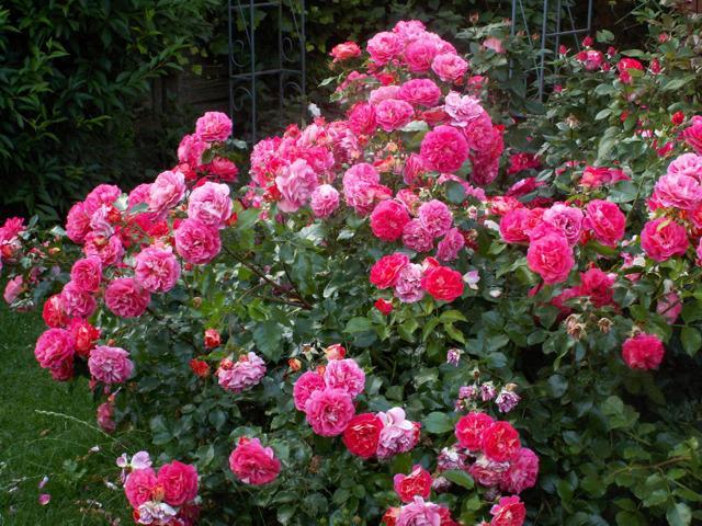 wie sehen eure rosenbeete aus seite 1 rund um die rose mein sch ner garten online. Black Bedroom Furniture Sets. Home Design Ideas