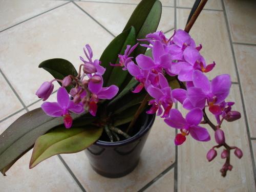orchidee ohne bl ten mein sch ner garten forum. Black Bedroom Furniture Sets. Home Design Ideas