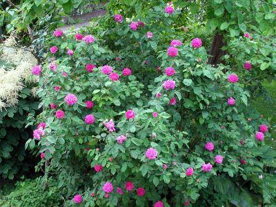 rosen f r den halbschatten rosenb gen rankhilfen rosen f. Black Bedroom Furniture Sets. Home Design Ideas