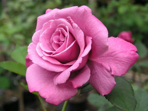meine rosen wie immer einfach sch n seite 20 rund um die rose mein sch ner garten online. Black Bedroom Furniture Sets. Home Design Ideas