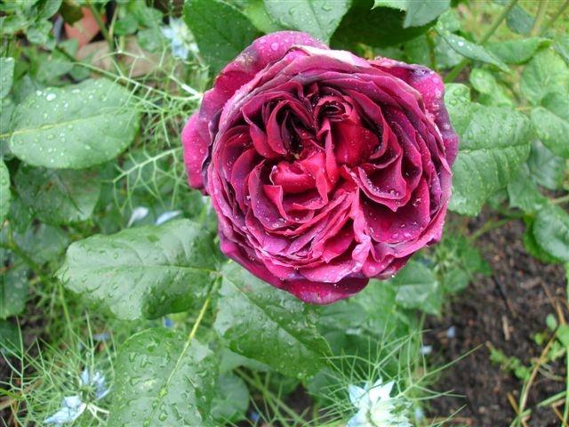 astrid gr fin von hardenberg seite 1 rund um die rose. Black Bedroom Furniture Sets. Home Design Ideas
