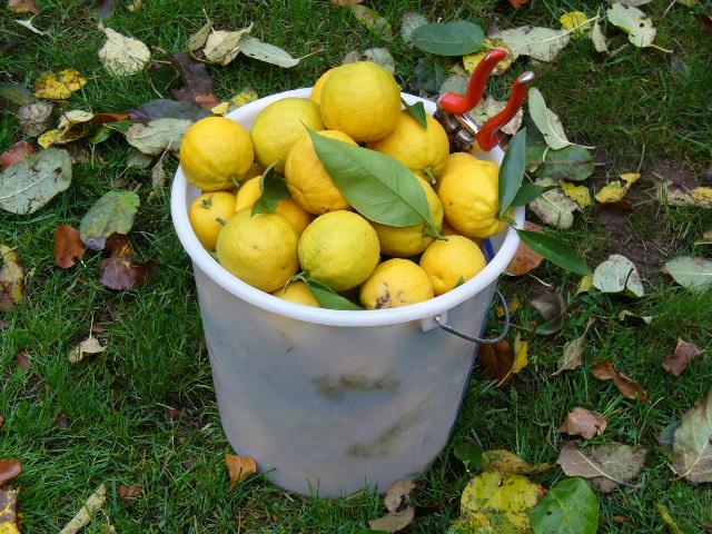 Überwinterung von Zitronenbaum im Zimmer - Mein schöner Garten Forum