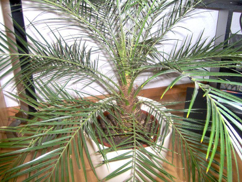 fachmann gesucht palme als geschenk. Black Bedroom Furniture Sets. Home Design Ideas