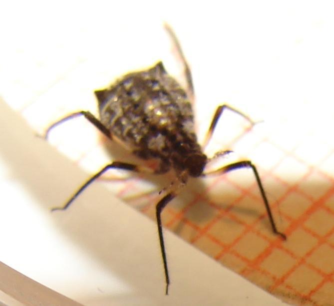 brauner k fer mit zwei durchgezogenen streifen was ist das haus insekten. Black Bedroom Furniture Sets. Home Design Ideas