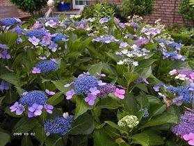 suche begleitpflanzen zu bauernhortensien mein sch ner. Black Bedroom Furniture Sets. Home Design Ideas