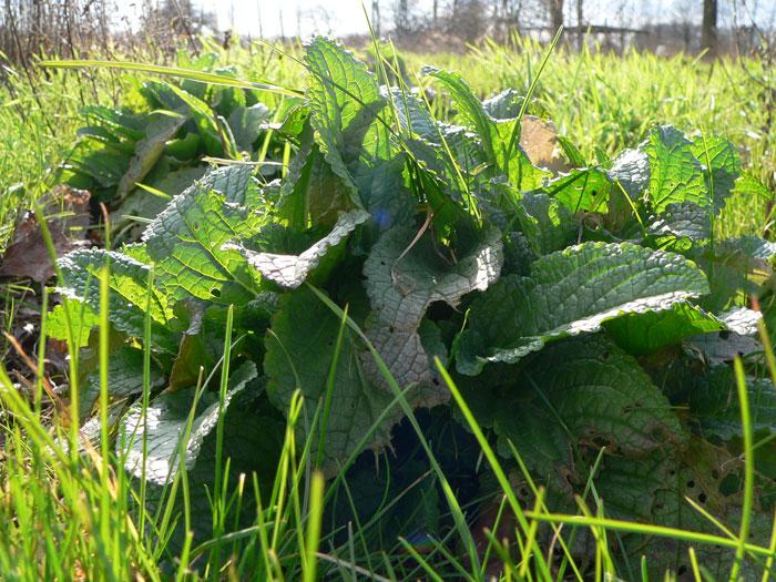 krautrueben forum nur fuer pflanzenbestimmung neuer versuch