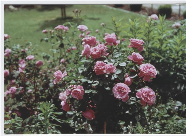 rosen schneiden rosen und mehr mein sch ner garten online. Black Bedroom Furniture Sets. Home Design Ideas
