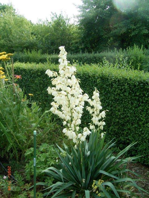yucca palmen hnliches gew chs seite 1 pflanzenfragen. Black Bedroom Furniture Sets. Home Design Ideas