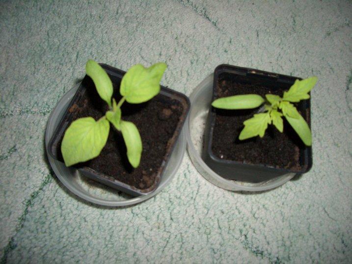 was ist das tomatenpflanze oder nicht seite 1. Black Bedroom Furniture Sets. Home Design Ideas