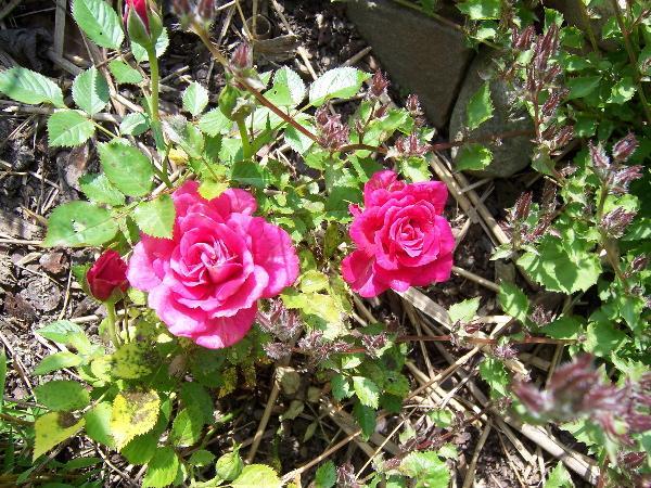 Die Sch Nen Rosen In Unseren G Rten Page 46 Mein