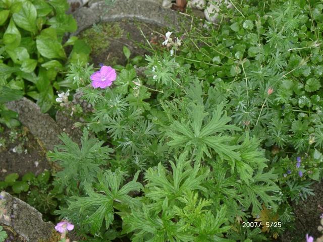 storchschnabel pflanzen botanik green24 hilfe pflege bilder. Black Bedroom Furniture Sets. Home Design Ideas