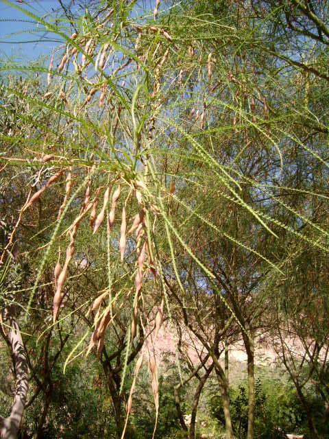 jerusalemdorn parkinsonia aculeata exotische b ume str ucher kletterpflanzen exotenfans. Black Bedroom Furniture Sets. Home Design Ideas