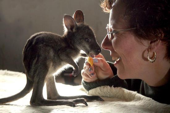 Yavru Kanguru resimleri-Yavru kanguru fotoğrafları