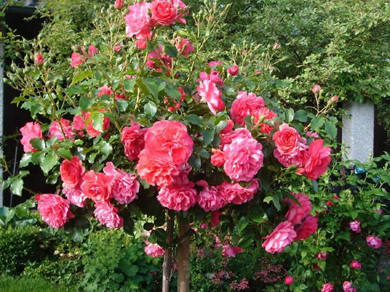 tipps f r frostharte kaskadenrose trauerrose gesucht allg u seite 1 rund um die rose. Black Bedroom Furniture Sets. Home Design Ideas