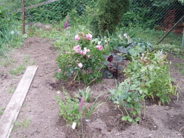 begleit und kontrastpflanzen zu rosen seite 2 rund um die rose mein sch ner garten online. Black Bedroom Furniture Sets. Home Design Ideas