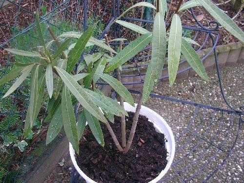 oleander seite 1 terrasse balkon mein sch ner garten online. Black Bedroom Furniture Sets. Home Design Ideas
