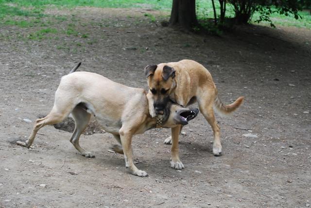 Illegale Hundekämpfe