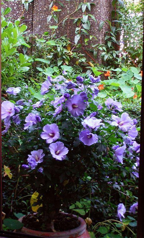 muttertagsgeschenk hibiscus syriacus oiseau blue blue. Black Bedroom Furniture Sets. Home Design Ideas