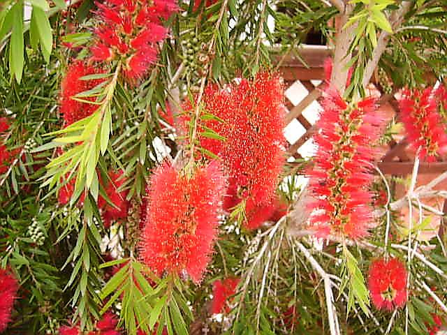 queensland bottlebrush winterhart exotische b ume. Black Bedroom Furniture Sets. Home Design Ideas