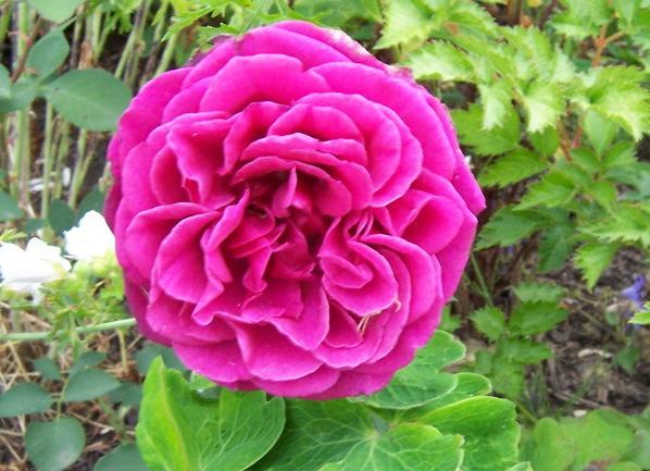 unsere sch nen rosen und mehr seite 43 rund um die rose mein sch ner garten online. Black Bedroom Furniture Sets. Home Design Ideas