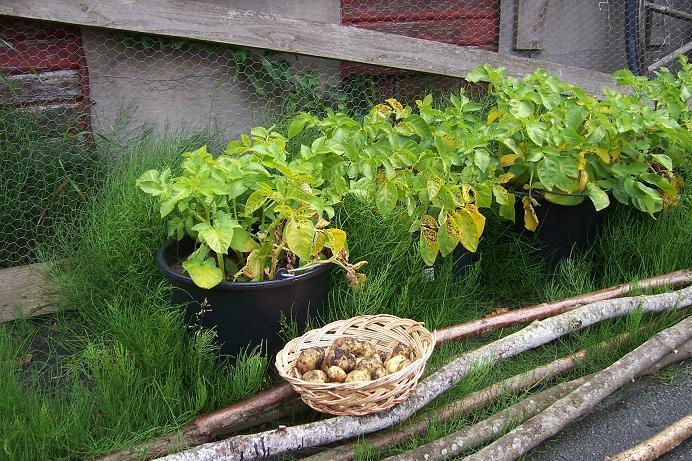 wann kartoffeln pflanzen kartoffeln pflanzen und ernten. Black Bedroom Furniture Sets. Home Design Ideas