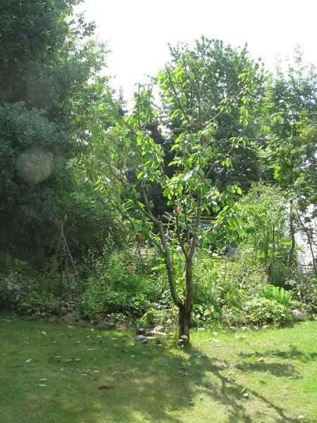 Wir Haben S Getan Kirschbaumschnitt Mein Schoner Garten Forum