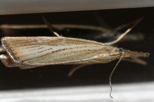 pyralidae z nsler agriphila straminella lepidoptera falter tag und nachtfalter. Black Bedroom Furniture Sets. Home Design Ideas