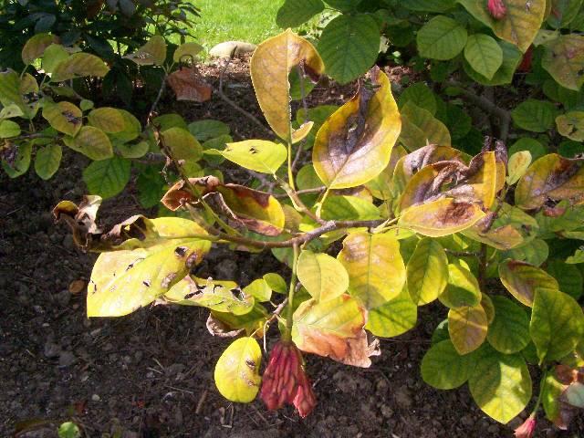 magnolie krankheiten magnolie verliert bl tter ursachen. Black Bedroom Furniture Sets. Home Design Ideas