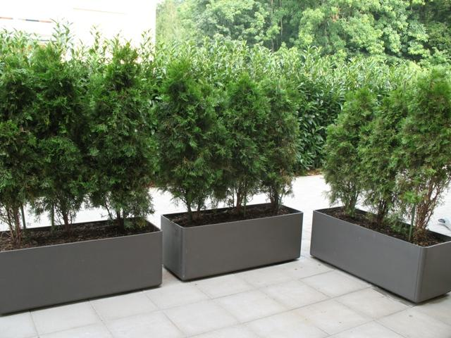 thuja in tr gen mein sch ner garten forum. Black Bedroom Furniture Sets. Home Design Ideas