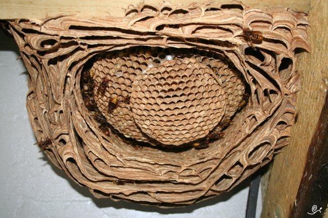 hornissen im dach ber gipskarton bilder forum hornissenschutz. Black Bedroom Furniture Sets. Home Design Ideas