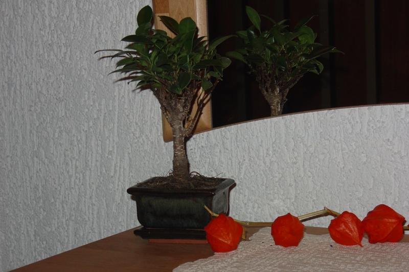 welche art von bonsai ist es und wie pflege ich ihn. Black Bedroom Furniture Sets. Home Design Ideas