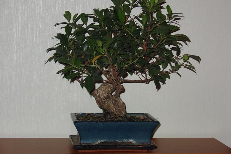 welche art von bonsai ist es und wie pflege ich ihn mein sch ner garten forum. Black Bedroom Furniture Sets. Home Design Ideas