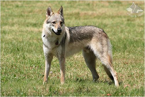 wolf hund kreuzung
