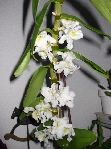 orchidee dendrobium pflege mein sch ner garten forum. Black Bedroom Furniture Sets. Home Design Ideas
