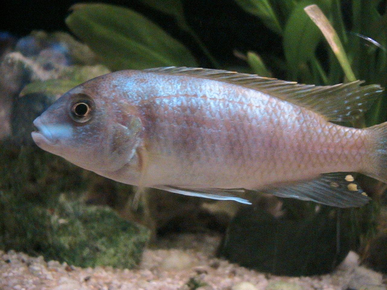 Fish id tropical fish forums for Jans tropical fish