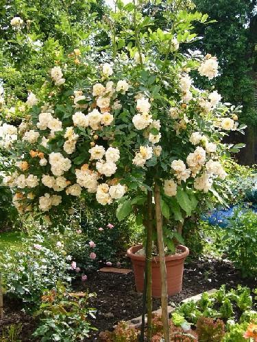 ghislaine de feligonde auf stamm unterpflanzung m glich seite 1 rund um die rose mein. Black Bedroom Furniture Sets. Home Design Ideas