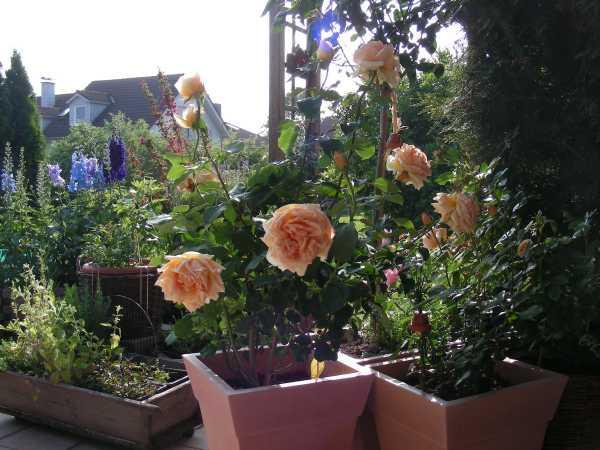 welche rosen eignen sich zur k belhaltung auf der terrasse. Black Bedroom Furniture Sets. Home Design Ideas