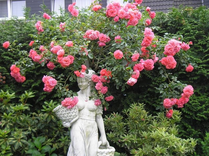 rosen und gartenforum rosen in radm hl gartenforum. Black Bedroom Furniture Sets. Home Design Ideas