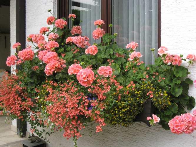 balkonblumen k rzen mein sch ner garten forum. Black Bedroom Furniture Sets. Home Design Ideas