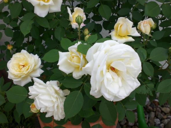 rosen f r terrassenk bel seite 1 rund um die rose. Black Bedroom Furniture Sets. Home Design Ideas