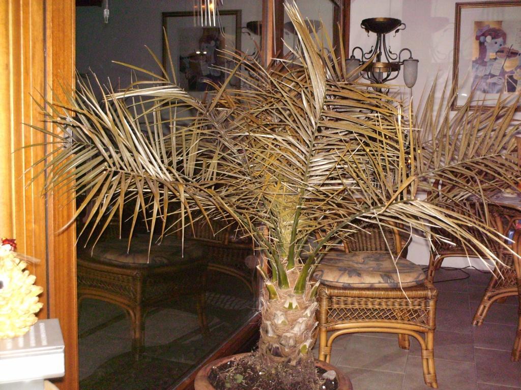 palmen und co zeigt her eure phoenix roebelinii. Black Bedroom Furniture Sets. Home Design Ideas