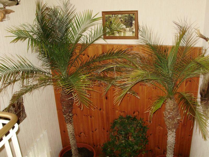 Zeigt Eure Wohnzimmer : Re: Zeigt her eure Phoenix Roebelinii - 2