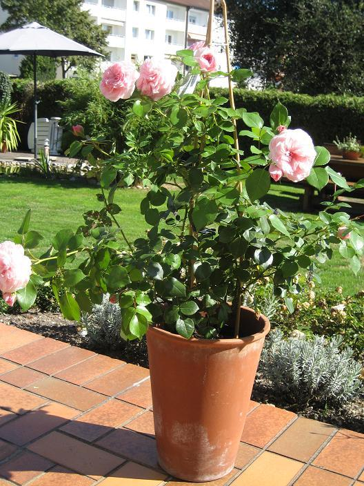rosen f r terrassenk bel seite 1 rund um die rose mein sch ner garten online. Black Bedroom Furniture Sets. Home Design Ideas