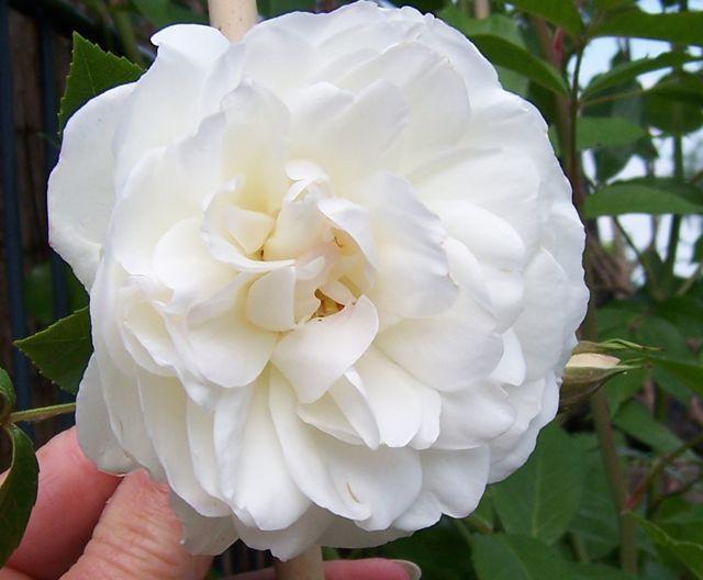 Unsere Sch Nen Rosen Und Mehr Page 125 Mein