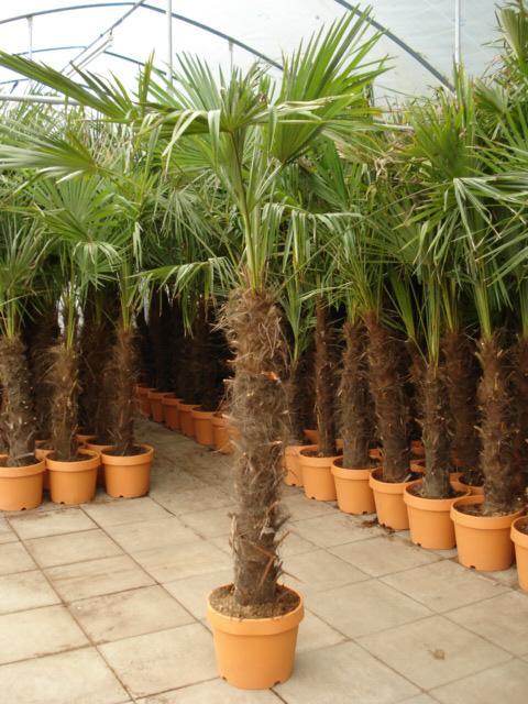 Kurzhaariger Stamm der Palme
